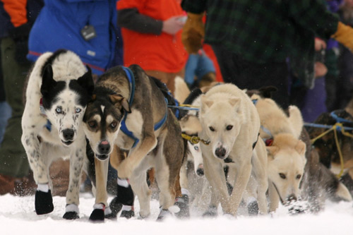 Sled dogs get serious and get to work during the 2005 Beargrease.                                             (Kit Larson)
