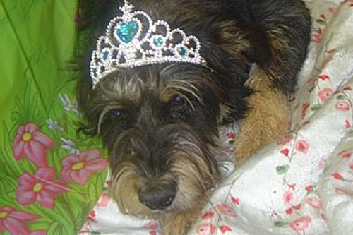 Duncan the pound dog, with tiara.                                             (Duncan the pound dog)