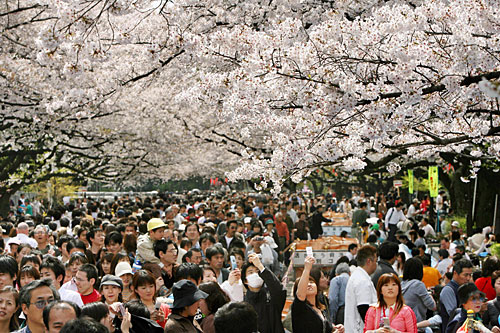 Crowds stroll under cherry blossom trees in full bloom in Tokyo's Ueno Park.                                             (Kazuhiro Nogi/AFP/Getty Images)