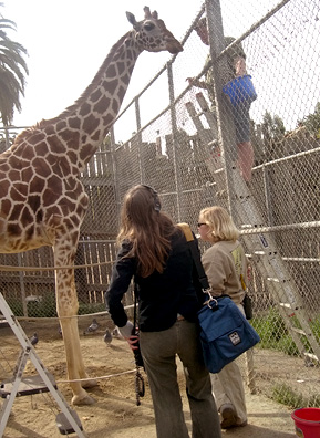 Tiki the Giraffe getting ready for a snack.                                             (Courtesy Oakland Zoo)