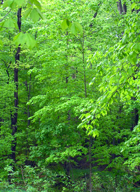According to Petruschke, a camera does not do justice to the many shades of green one sees in the Kirtland Forest canopies in early summer.  Snowfalls averaging more than 100 inches annually melt and are absorbed by the rocks. The water seeps out, providing a abundance of water that feeds the lush greenery.                                             (Haans Petruschke)