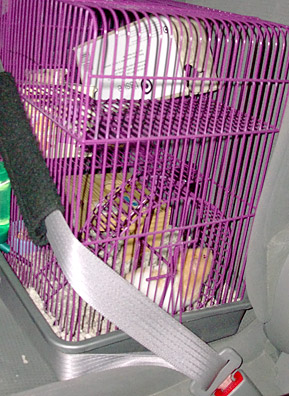 Fuzzy the Hamster, strapped in for a cross-country drive.                                             (John Moe)