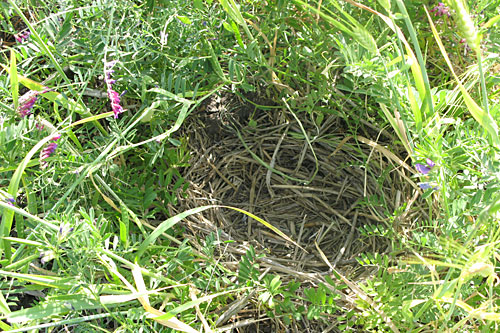 A wild duck nest found in the cover crop of the Lundberg Family Farm.                                             (Nancy Mullane)