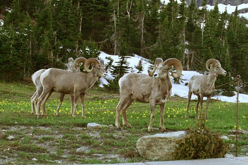 Big Horn Sheep hang out next to the Going to the Sun road.                                             (Michael May)